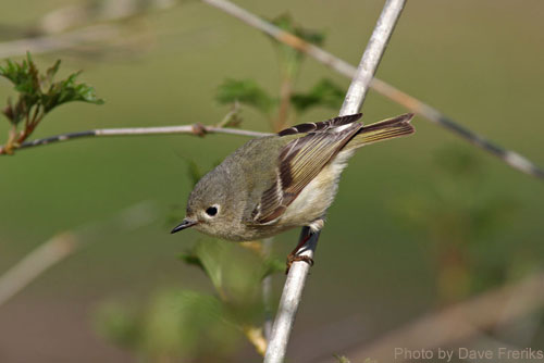 Female Ruby-crowned Kinglet lacks red spot on head