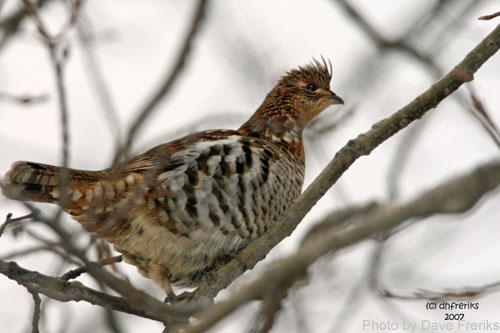 Ruffed grouse among branches