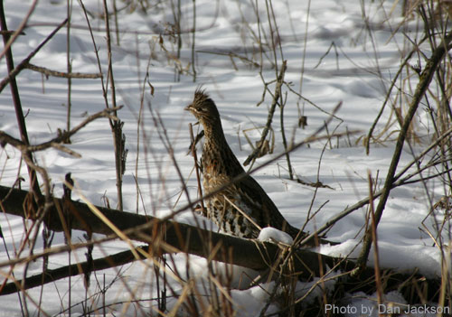 Ruffed Grouse on a snowy landscape
