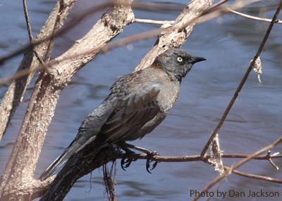 Rusty Blackbird perched over water