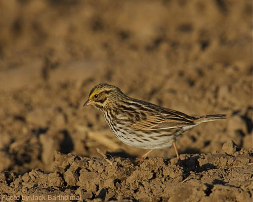 Savannah Sparrow foraging on the ground