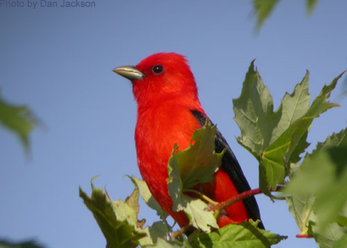 Scarlet Tanager high in a maple tree
