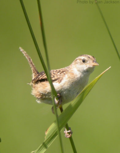 Sedge Wren perched on wetland grasses