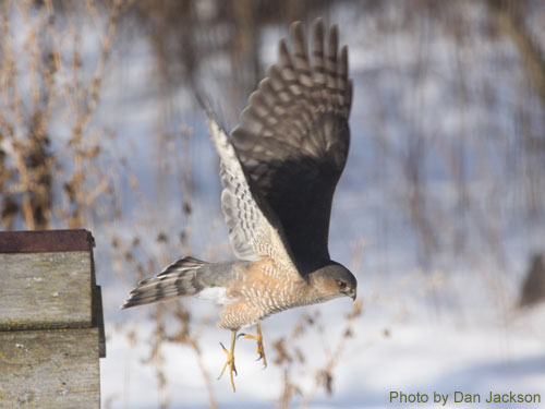 Sharp-shinned Hawk taking flight from a bird feeder