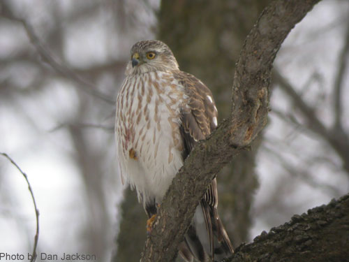 Sharp-shinned Hawk on a branch, showing breast markings
