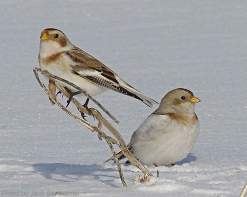 A pair of snow buntings on snow cover