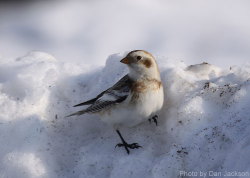 Snow Bunting on a snow bank
