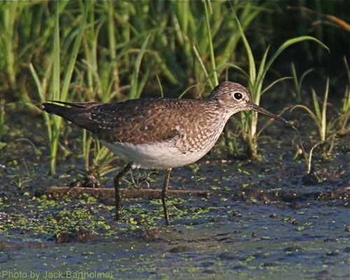 Solitary Sandpiper walking in the mud flats