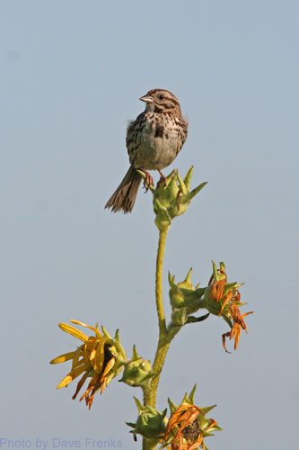 Song Sparrow sitting on top of Compass Plant