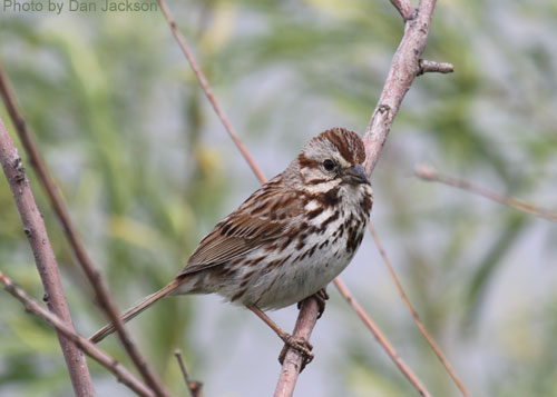 Song Sparrow on a shrub