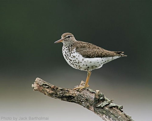 Spotted Sandpiper standing on a branch