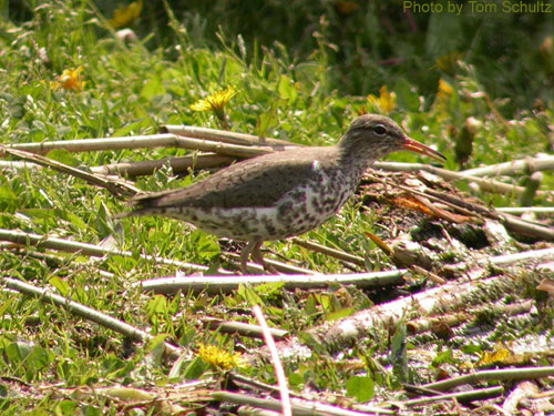 Spotted Sandpiper foraging on the ground