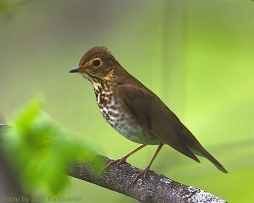 Swainson's Thrush on a branch