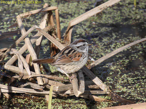 Swamp Sparrow standing on cattails at teh water line