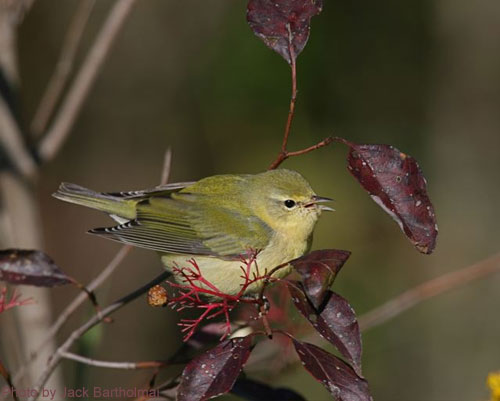 Tennessee Warbler sitting on dogwood