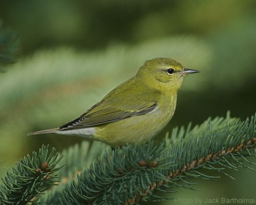 Tennessee Warbler on spruce tree