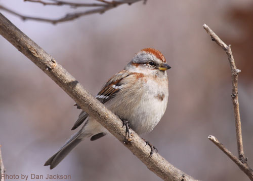 American Tree Sparrow sitting on a branch