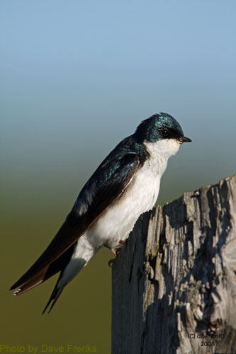 Tree swallow in profile; note tail feathers and white breast