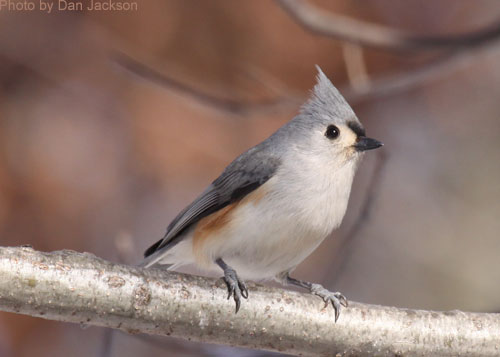 Close up of a Tufted Titmouse on a branch