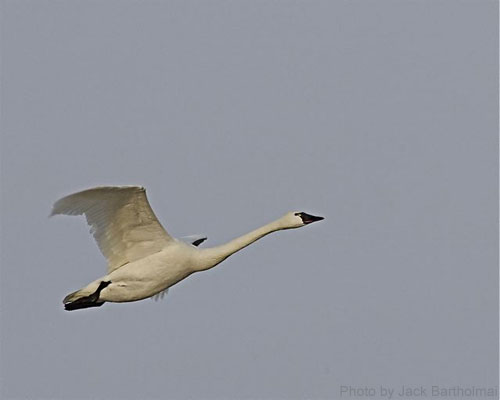 Tundra swan in flight