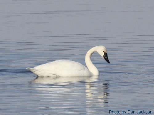 Tundra swan in a pond