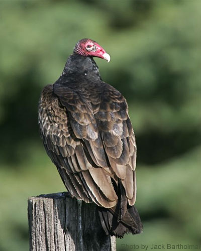 Turkey Vulture on post looking over shoulder