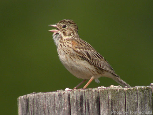Vesper Sparrow singing on a post