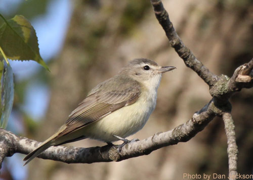 Warbling Vireo on a branch
