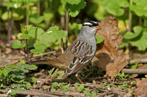 White-crowned Sparrow in the garlic mustard patch