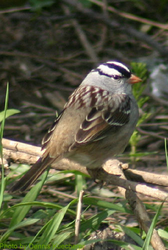 White-crowned Sparrow looking over its shoulder
