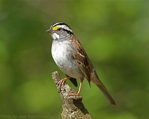 White-throated sparrow atop a small branch