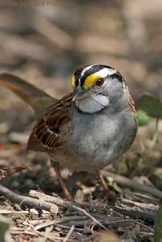White-throated Sparrow poses for the camera