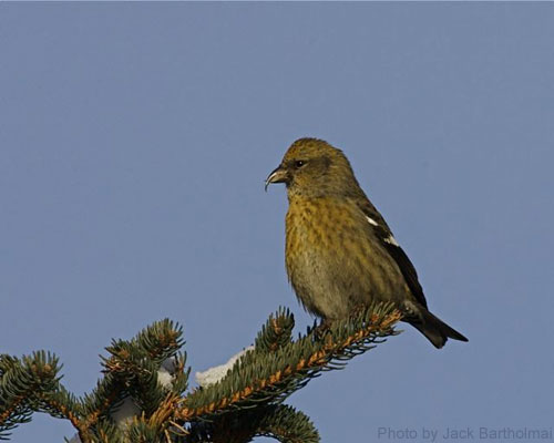Female white-winged crossbill sitting at top of spruce tree