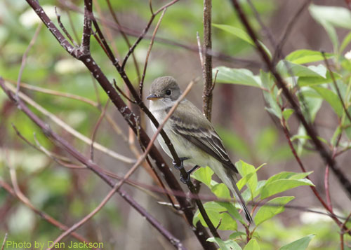 Willow Flycatcher hiding in the brush