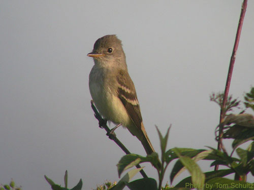 Willow Flycatcher in the tree tops