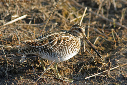 Close up of a Wilson's Snipe struting along the ground