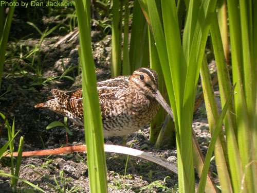 Wilson's Snipe hiding among the wetland vegetation