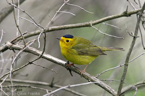 Wilson's Warbler on a branch