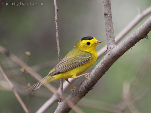 A Wilson's Warbler poses for the camera