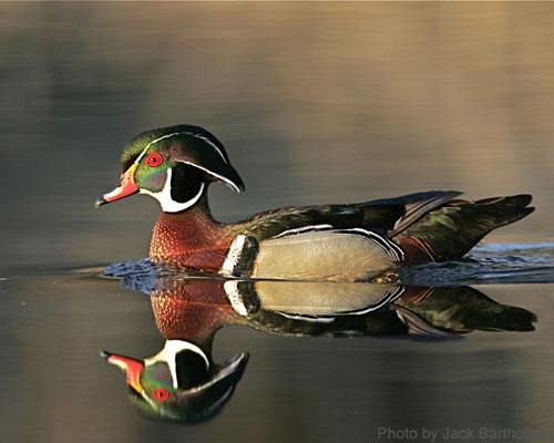 A colorful Male wood duck on a pond