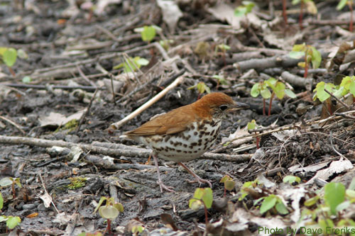 Wood Thrush hiding among the sticks on the ground