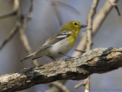 Yellow-throated Vireo on tree branch