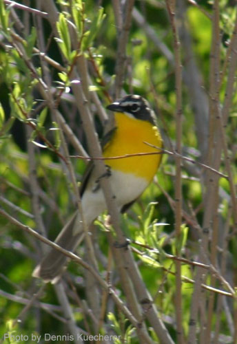 Yellow-breasted Chat showing off its name