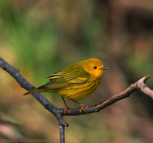 Male Yellow Warbler poses for a picture