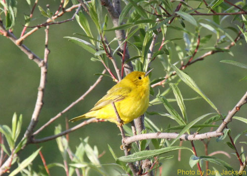 Female Yellow warbler in a willow tree
