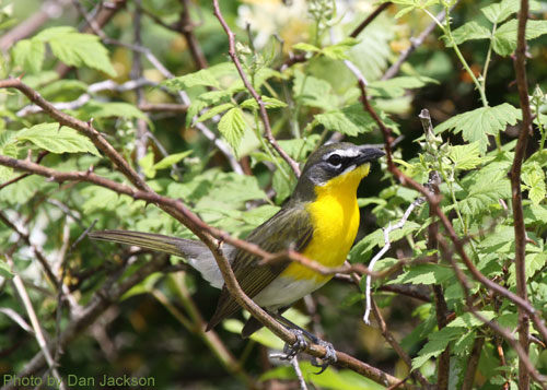 Yellow-breasted Chat in the thicket
