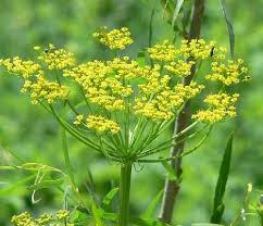 Yellow flowers of wild parsnip